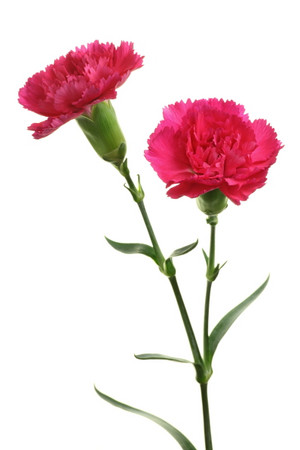Dianthus_caryophyllus_spray_carnati
