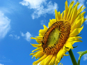 Sunflower_0041_2