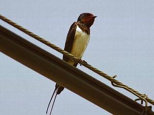 Swallow71