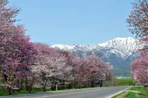 Hokkaidounosakural1